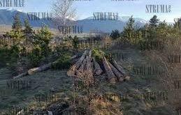 Прокуратурата в Разлог се самосезира за незаконна сеч на 983 дървета